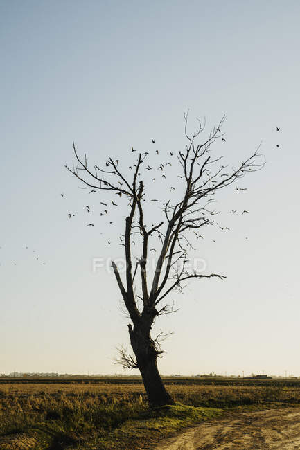 Стадо птиц, летающих голым деревом в поле против неба в дельте Эбро, Испания — стоковое фото