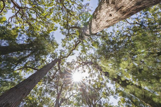 Солнце, сияющее над пологами высоких красных деревьев (Eucalyptus jacksonii), растущих в Национальном парке Уолпол-Норналуп — стоковое фото