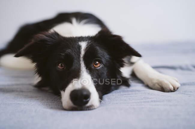 Frontera Collie descansando mientras está acostado en la cama en casa - foto de stock