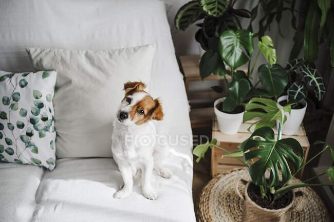 Lindo Jack Russell Terrier en el sofá en la sala de estar en casa - foto de stock