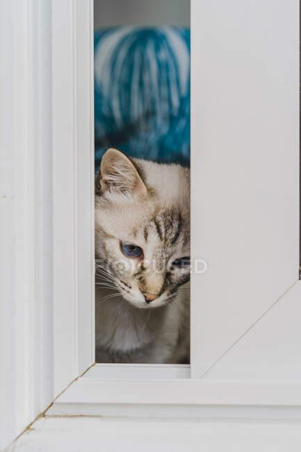 Gato doméstico mirando a través de ventana - foto de stock