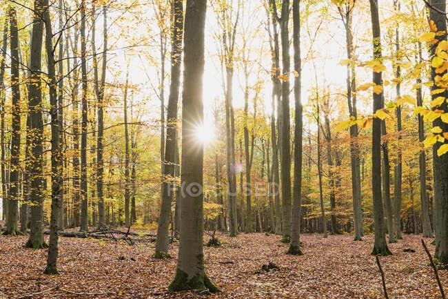Sole che splende attraverso rami di alberi forestali in autunno — Foto stock