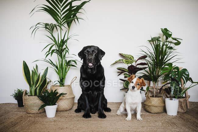 Perros sentados juntos en la alfombra por planta en casa - foto de stock