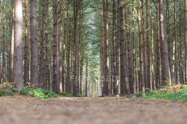 Nivel superficial del camino de tierra en medio de árboles que crecen en el bosque, Cannock Chase, Reino Unido - foto de stock