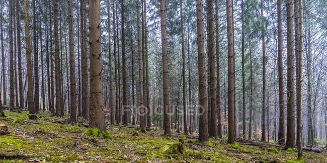 Coniferous trees at Swabian Jura during day — Stock Photo