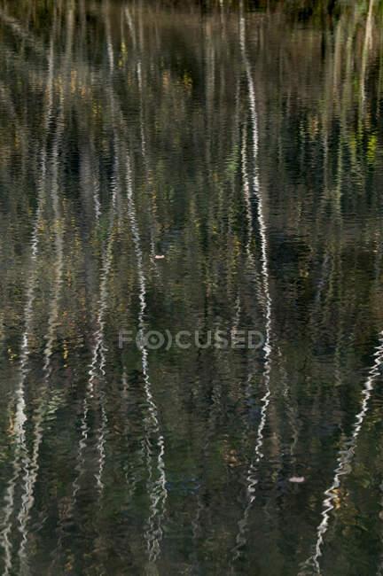 Árboles de abedul reflejándose en la superficie del lago en Teverener Heide - foto de stock