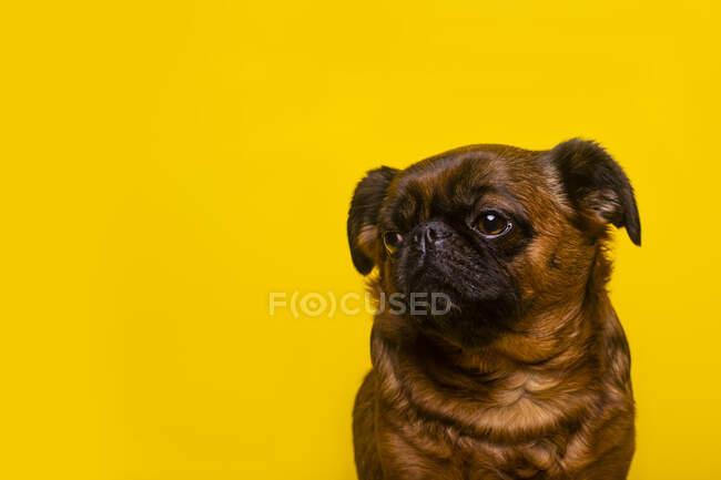 Кліт Брюссель Гріффон сидить навпроти жовтого фону — стокове фото