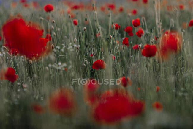 Flores rojas de amapola en el campo - foto de stock