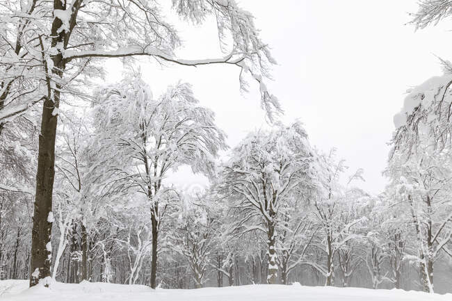 Bare trees covered with snow — Stock Photo