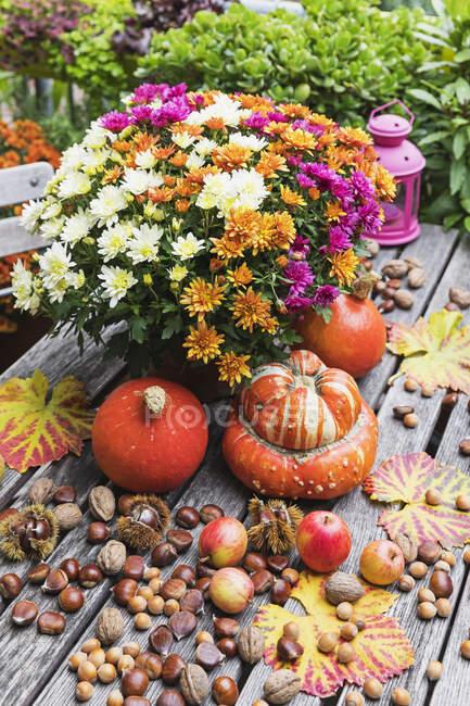 Cosecha de otoño incluyendo ramo de crisantemos florecientes, varios frutos secos, manzanas, calabaza, calabazas y hojas de uva - foto de stock