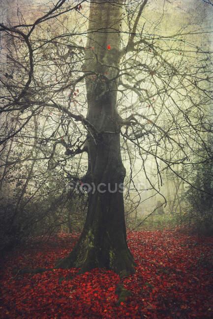 Faggio tra le foglie autunnali nella foresta di Wuppertal, Germania — Foto stock