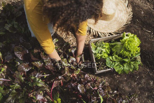Жінка збирала жука в городі за допомогою ящика. — стокове фото