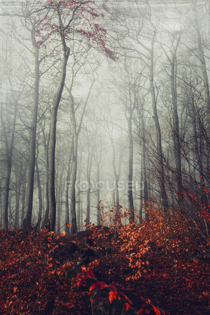 Tall bare trees and leaves in forest during autumn in Wuppertal, Germany — Stock Photo