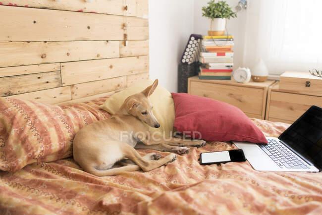 Giovane cane levriero seduto di fronte al computer portatile e telefono cellulare a letto a casa — Foto stock