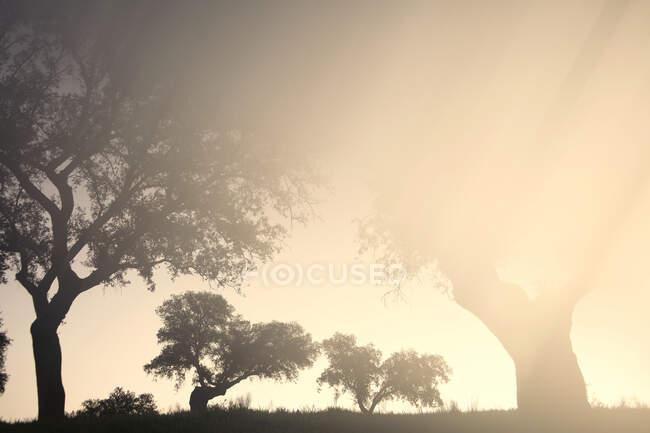 Силуэты дуба, освещенные лучами заходящего солнца — стоковое фото