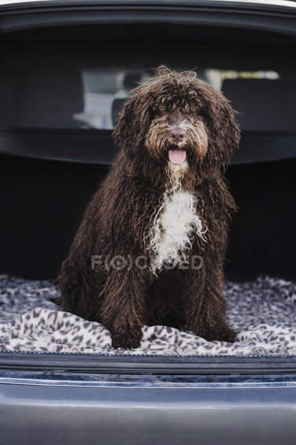 Cane d'acqua spagnolo carino nel bagagliaio dell'auto — Foto stock