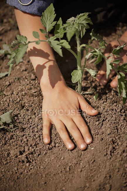 Жінка саджає помідори на задньому дворі. — стокове фото