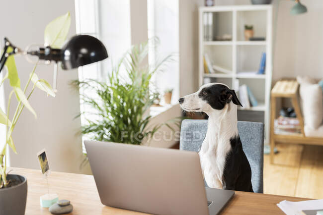 Собака озирається, сидячи біля ноутбука в домашньому офісі. — стокове фото