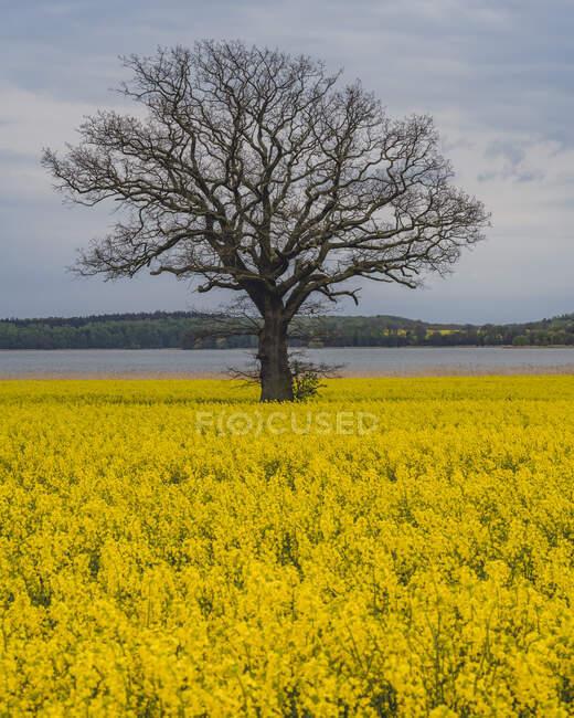 Одно дерево растет в поле рапса масличных с Гроссер Binnensee озера на заднем плане — стоковое фото