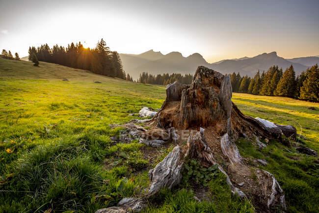 Пень дерева, освещаемый закатом солнца — стоковое фото