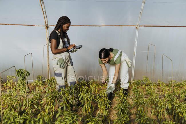 Молодая женщина-фермер фотографирует посевы рядом с коллегой, используя цифровые планшеты в теплице — стоковое фото