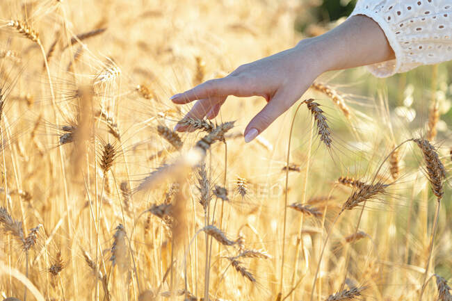 Woman touching wheat plants on sunny day — Stock Photo