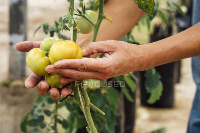 Ouvrière agricole contrôlant les tomates jaunes en serre — Photo de stock