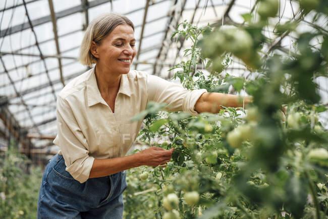 Fermier souriant examinant des plantes potagères en serre — Photo de stock