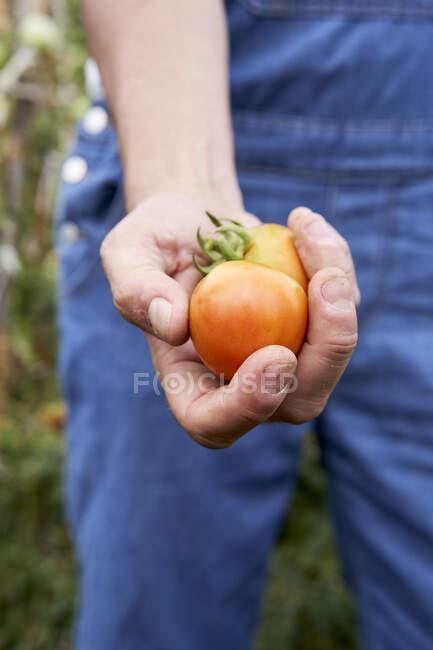 Exploitation de tomates fraîches récoltées par un agriculteur mâle adulte moyen — Photo de stock