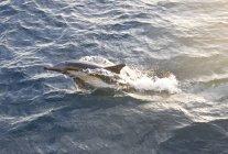 Long Beaked Common Dolphin, Bahia Magdalena, Baja California Sur, Mexico — Stock Photo