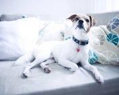 Фронтальний вид собака на сірий диван — стокове фото