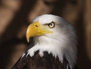 Gros plan de l'aigle à tête blanche avec fond dus — Photo de stock