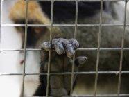 Cerca de Debrazzas mono con la mano en la jaula - foto de stock