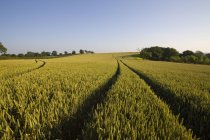 Tracks in wheat field — Stock Photo
