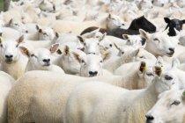 Full Frame Shot Of Flock Of Sheep — Stock Photo