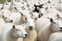 Shot Full Frame di gregge di pecore — Foto stock