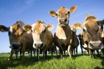 Muselières caméra en regardant les vaches Jersey — Photo de stock