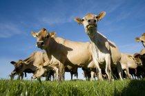 Mucche Jersey a campo pieno di sole — Foto stock
