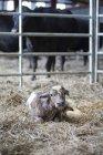 Neugeborenes Kalb liegend auf Heu — Stockfoto