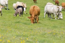 Herd of cows grazing on rural field — Stock Photo
