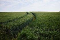 Green cornfield with tracks — стоковое фото