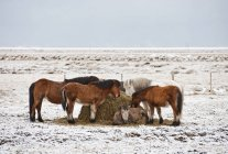 Horses eating hay in snow covered field — Stock Photo