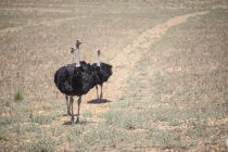 Flock Of Ostriches In South African Countryside — Stock Photo