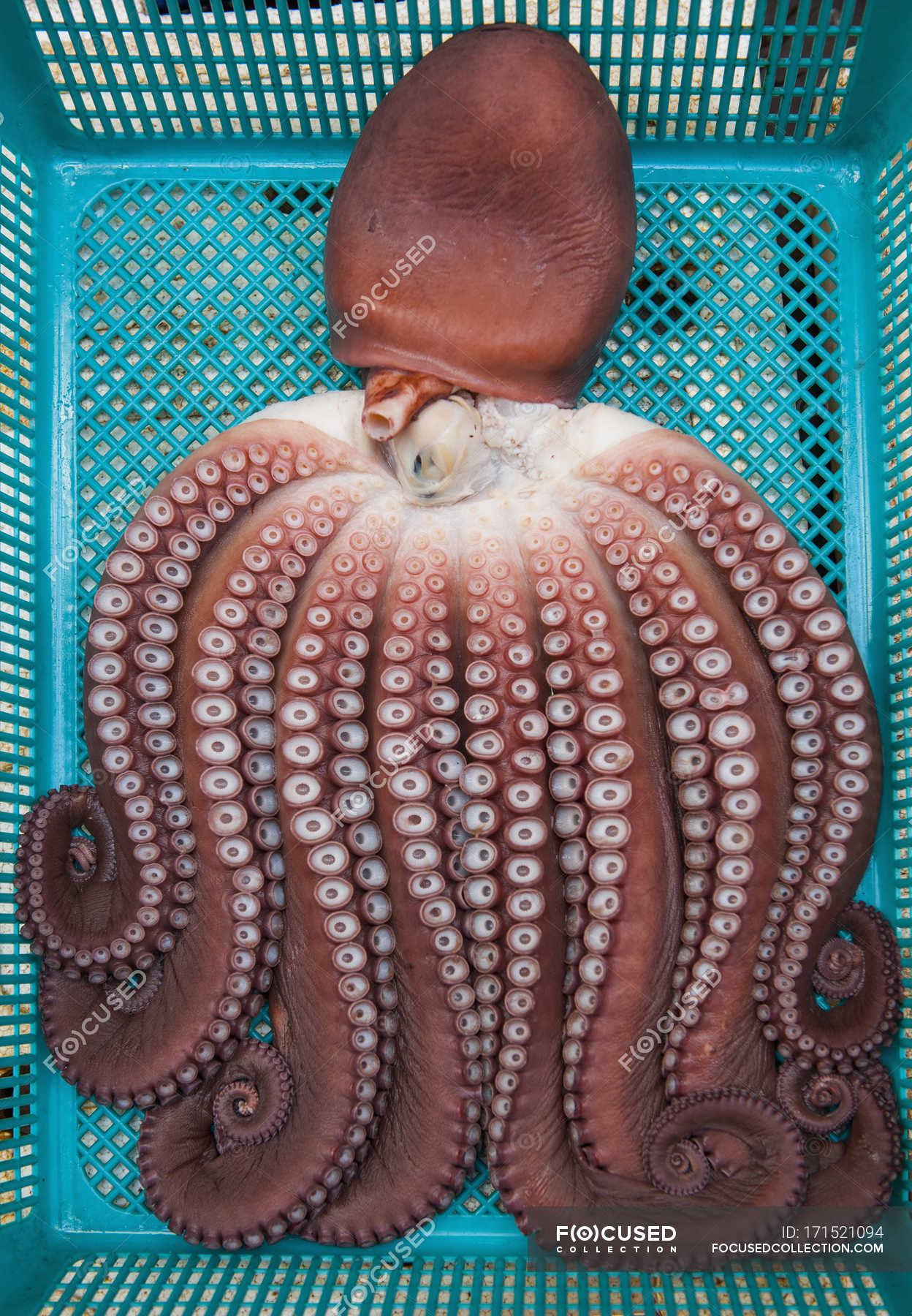 Octopus in blue basket — Stock Photo | #171521094