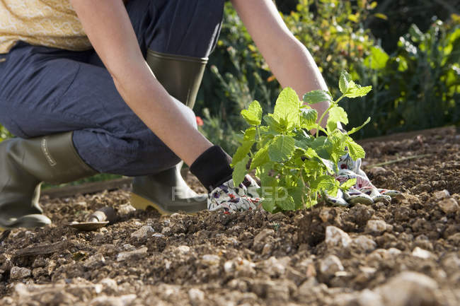 Crop woman in wellington boots planting sprout in flower bed at garden — Stock Photo