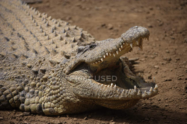 Close up of crocodile with mouth open — Stock Photo