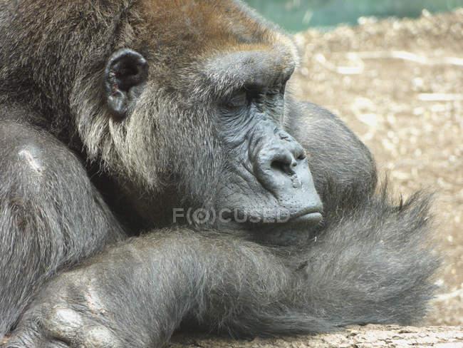 Seitenansicht des Gorilla Hellabrunn, München, Bayern, Deutschland — Stockfoto