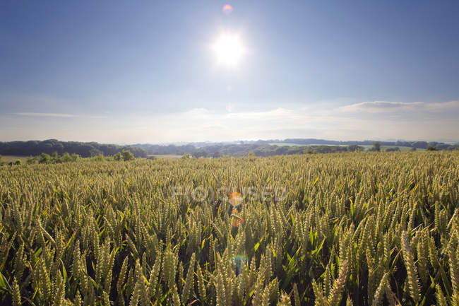Sonnige Weizenfeld — Stockfoto