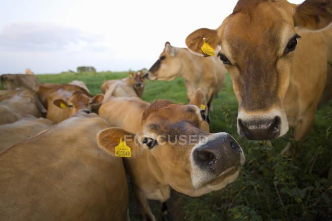 Джерсі корів у сфері — стокове фото
