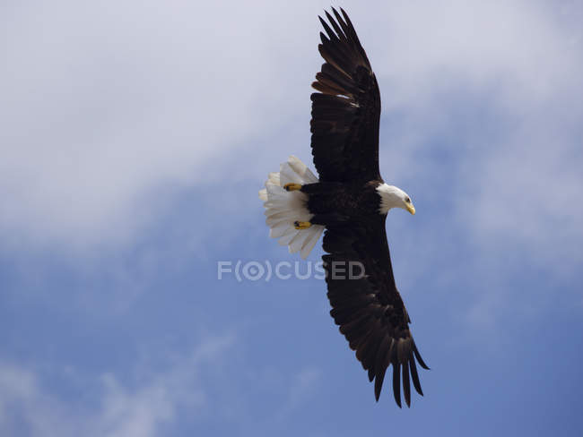 Low angle view of Bald Eagle in flight — Stockfoto
